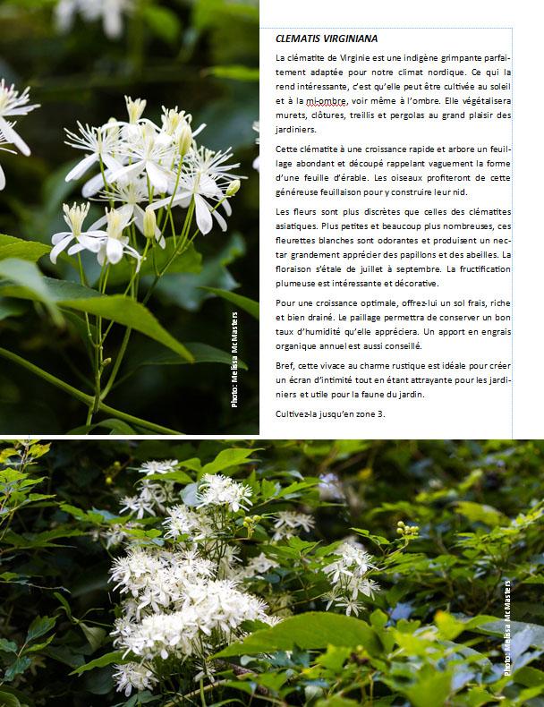 Plantes d'ombre - magazine - Page 11 Clemat10