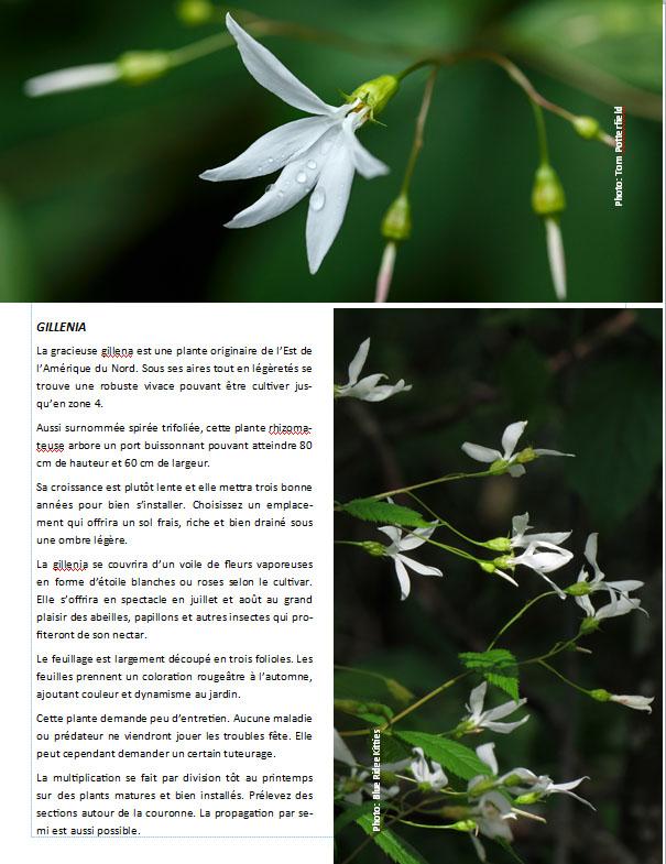 Plantes d'ombre - magazine - Page 12 Gillen10