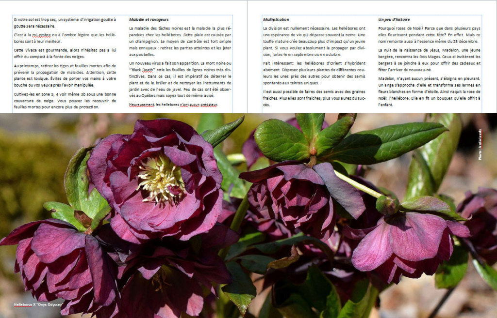 Plantes d'ombre - magazine - Page 4 Helleb13
