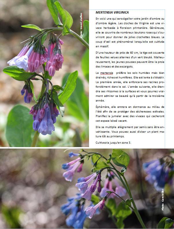 Plantes d'ombre - magazine - Page 11 Merten10