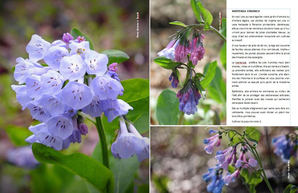 Plantes d'ombre - magazine - Page 11 Merten12
