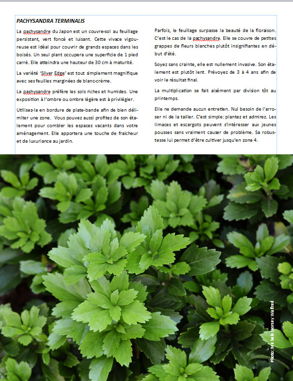 Plantes d'ombre - magazine - Page 12 Pachy10