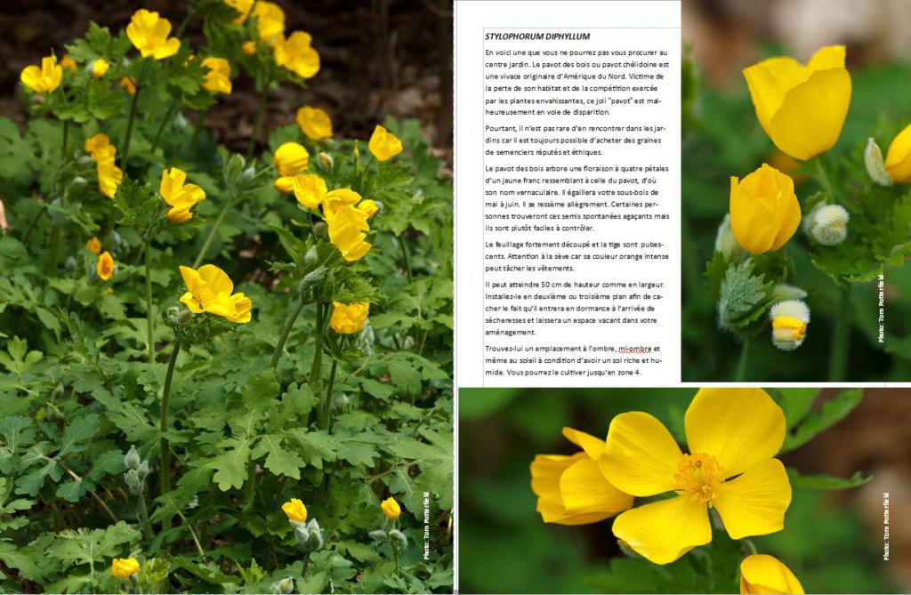 Plantes d'ombre - magazine - Page 12 Pavotd10