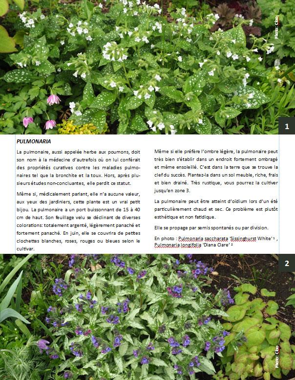 Plantes d'ombre - magazine - Page 10 Pulmon10