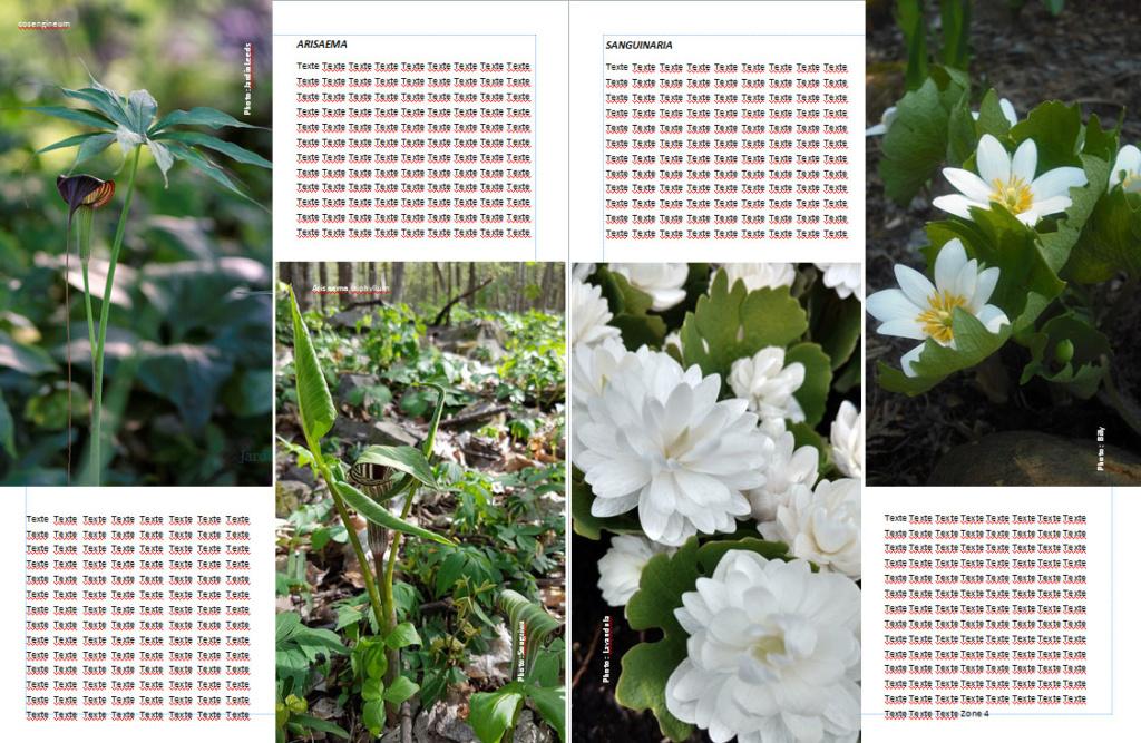 Plantes d'ombre - magazine - Page 2 Sangui10