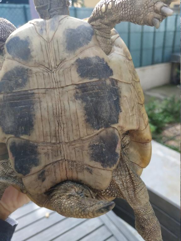 Hello, besoin de vous sur le sexe d'une tortue grecque et d'une Hermann. Merci Img_2012