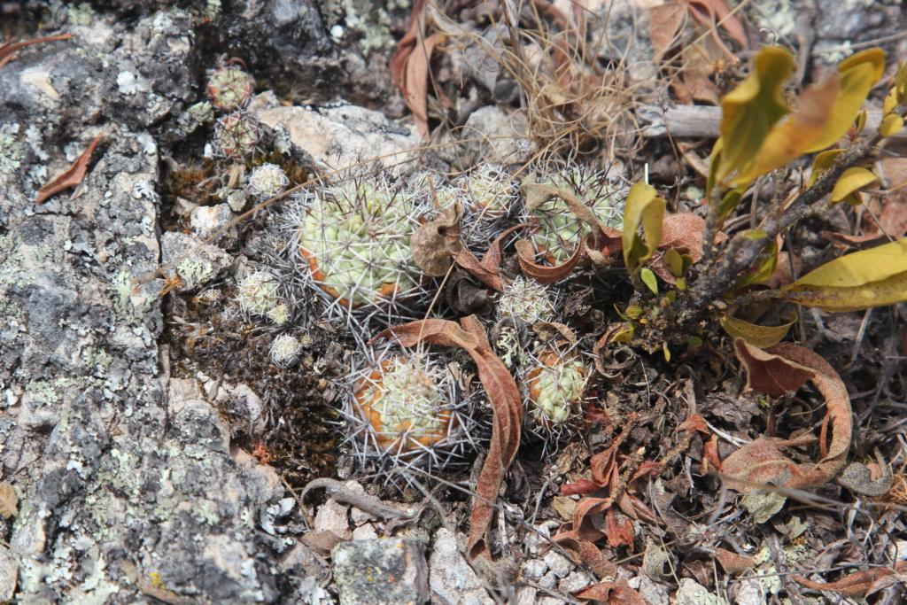 Ortegocactus macdougallii Img_5711