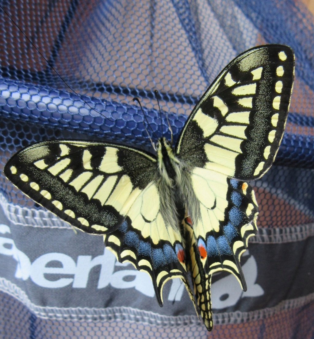 Annonce close [Propose] oeufs P.machaon Img_1510