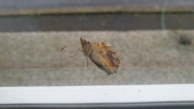 Identification papillon  20210211