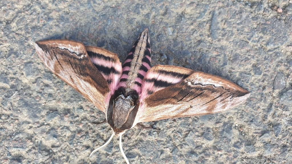Gros papillon  20210712