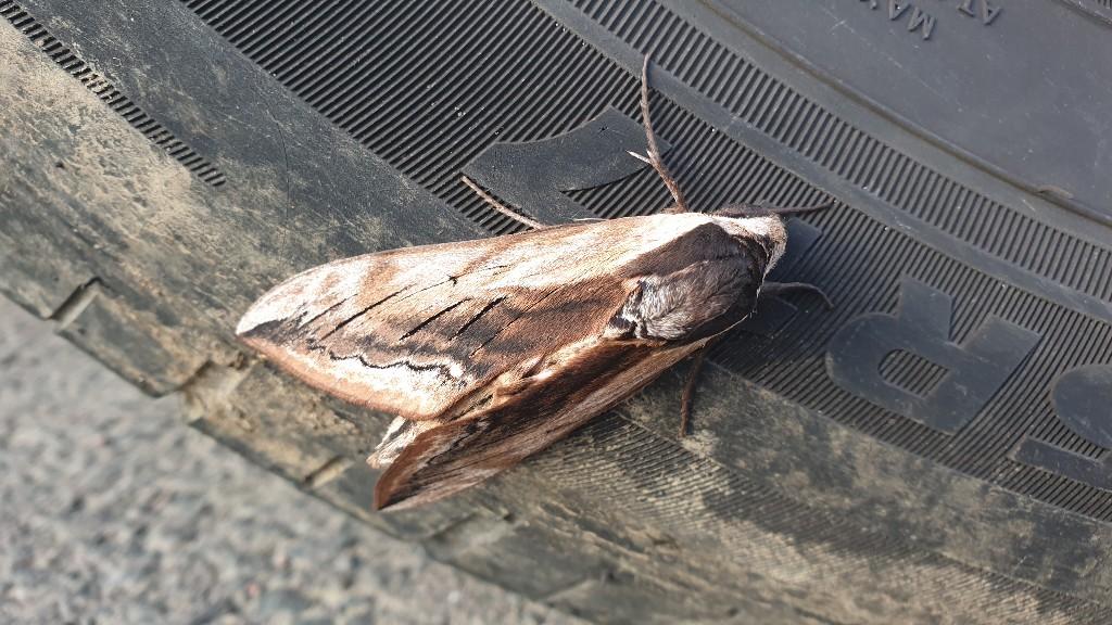Gros papillon  20210713