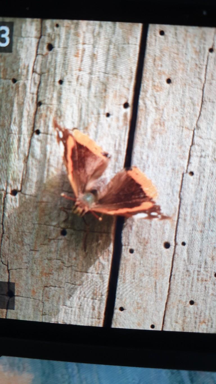 Identification papillon  20210810