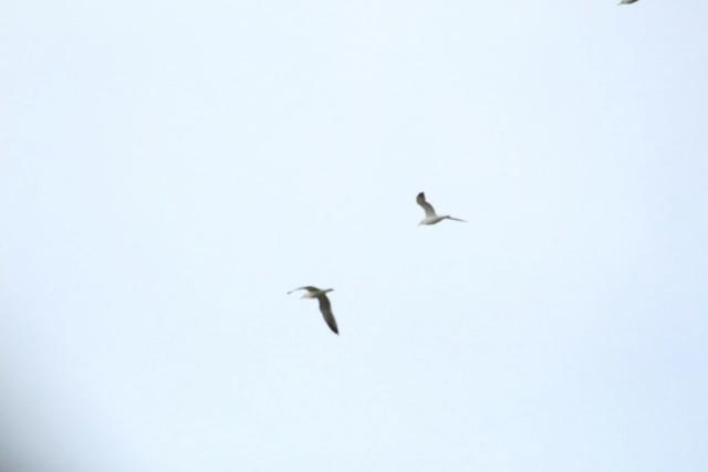 Oiseaux  Img_5812