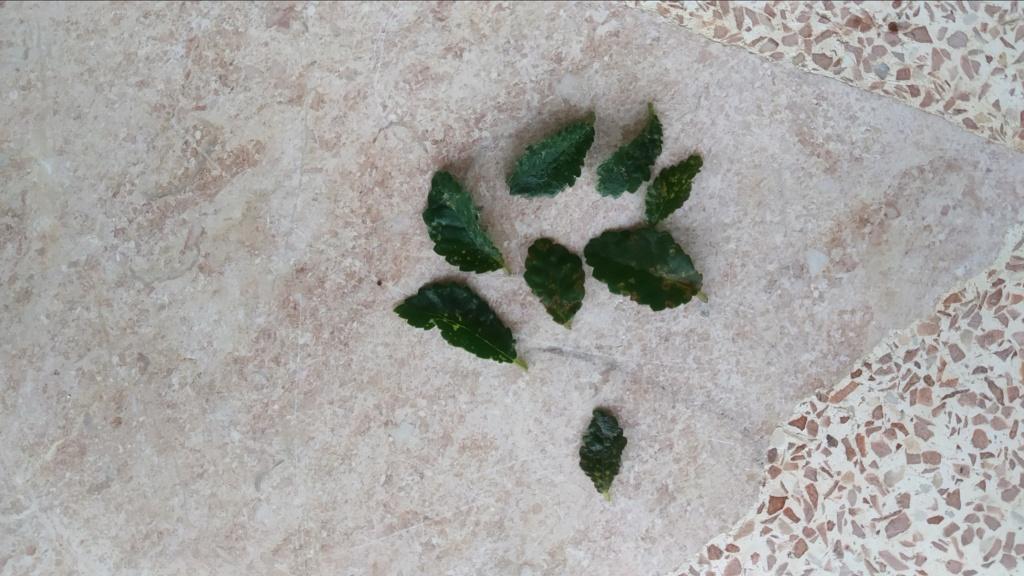 Manchas en hojas de Olmo Img_2011