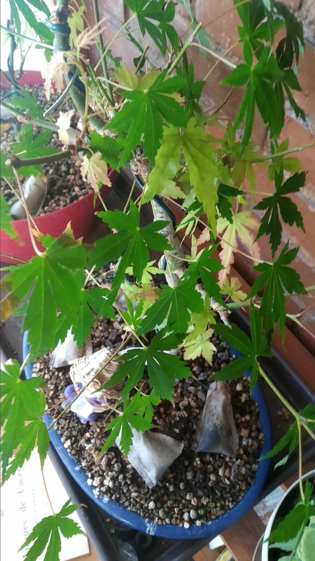 manchas en hojas de arce Whatsa10