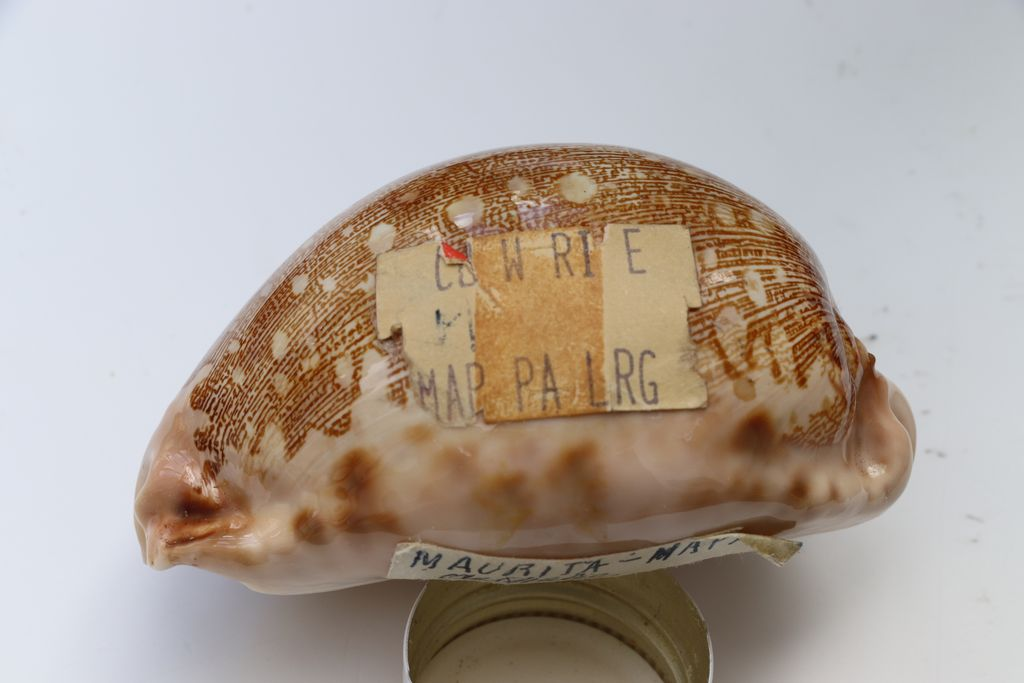 Leporicypraea_mappa_mappa_(Linnaeus_1758) Img_0718