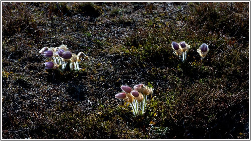 Le printemps au Mont Lozère, avant confinement - 04.04.21 02_21013