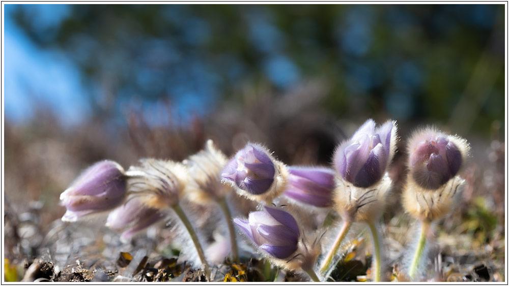 Le printemps au Mont Lozère, avant confinement - 04.04.21 03_21013