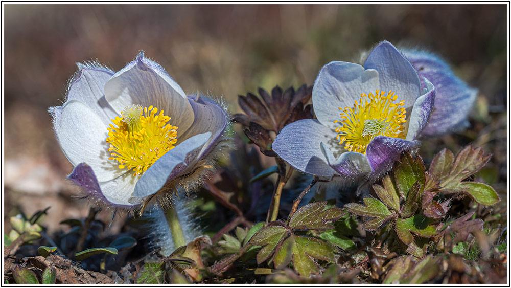 Le printemps au Mont Lozère, avant confinement - 04.04.21 06_21015