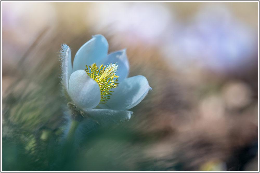 Le printemps au Mont Lozère, avant confinement - 04.04.21 07_21014