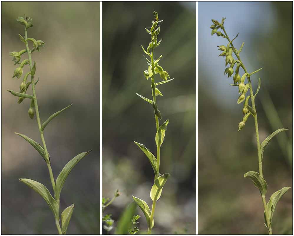 Epipactis phyllanthes (Epipactis à fleurs pendantes ) 19070113