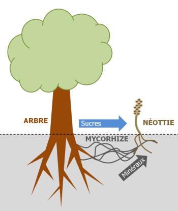 Auprès de mon arbre ♪ ♫...la mangeuse d'arbre ! Neotti10