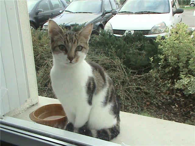 Trouvé à Leguevin chaton 5/6 mois blanc taches marrons-11/09 Aa10