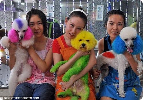 Крашеные собаки и стрижки 74743710