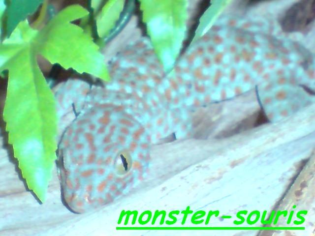 gecko tokay P2011010