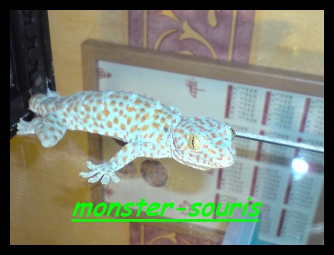 gecko tokay P2311010