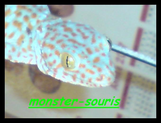 gecko tokay P2311011