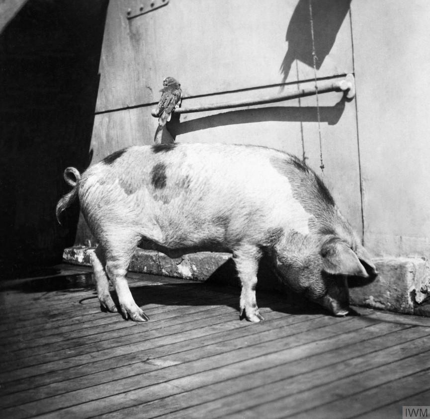 Les cochons marins! Tirpiz10