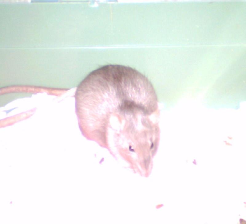 4 portés de bb rats a reservé dans le (59) Akila_10