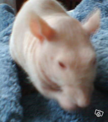 4 portés de bb rats a reservé dans le (59) Atchou13