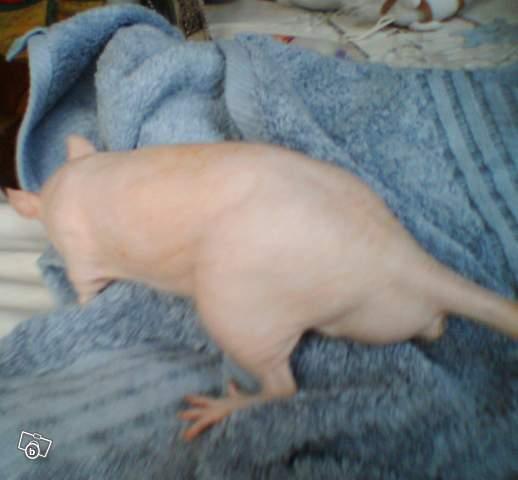 4 portés de bb rats a reservé dans le (59) Atchou15
