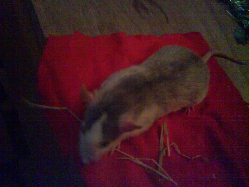 4 portés de bb rats a reservé dans le (59) Dsc01125