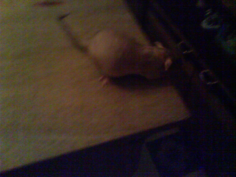 4 portés de bb rats a reservé dans le (59) Dsc01130