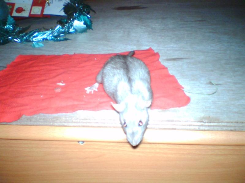 4 portés de bb rats a reservé dans le (59) Img_0021