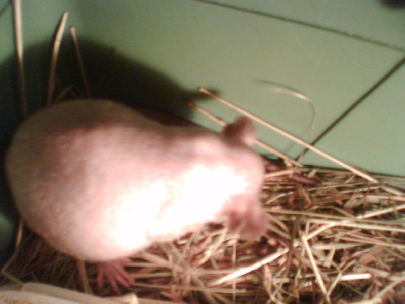 4 portés de bb rats a reservé dans le (59) Img_0024