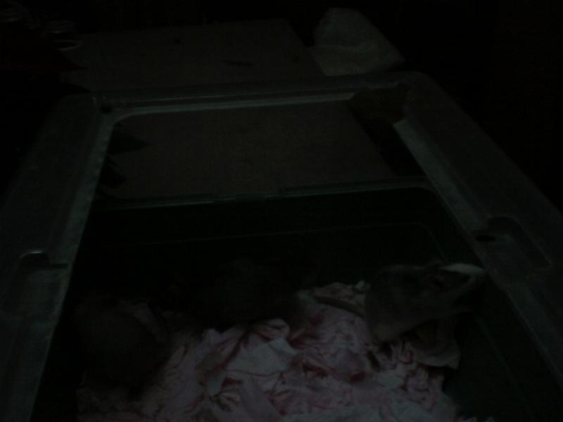 4 portés de bb rats a reservé dans le (59) Img_0027