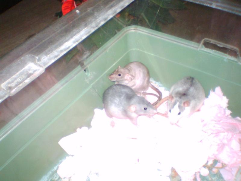 4 portés de bb rats a reservé dans le (59) Les_310