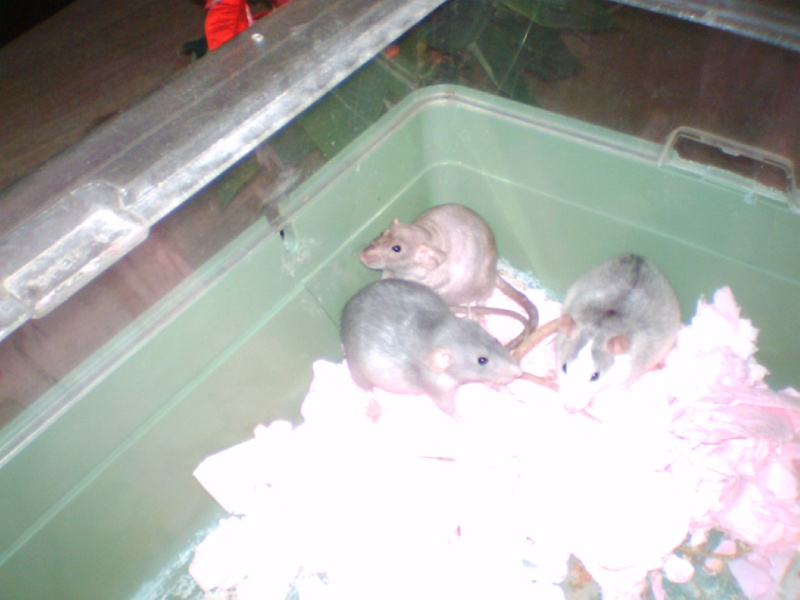 4 portés de bb rats a reservé dans le (59) Les_311