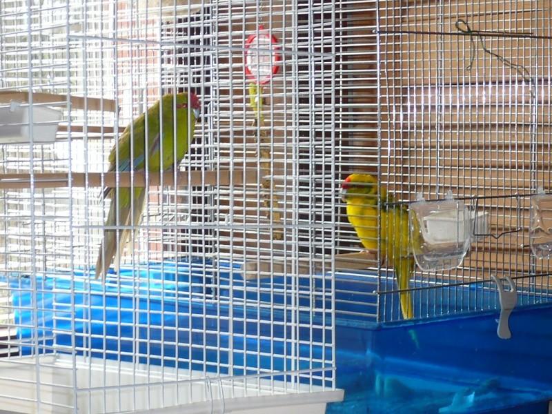 Un Kakariki peut-il rester seul en cage ? P1070910