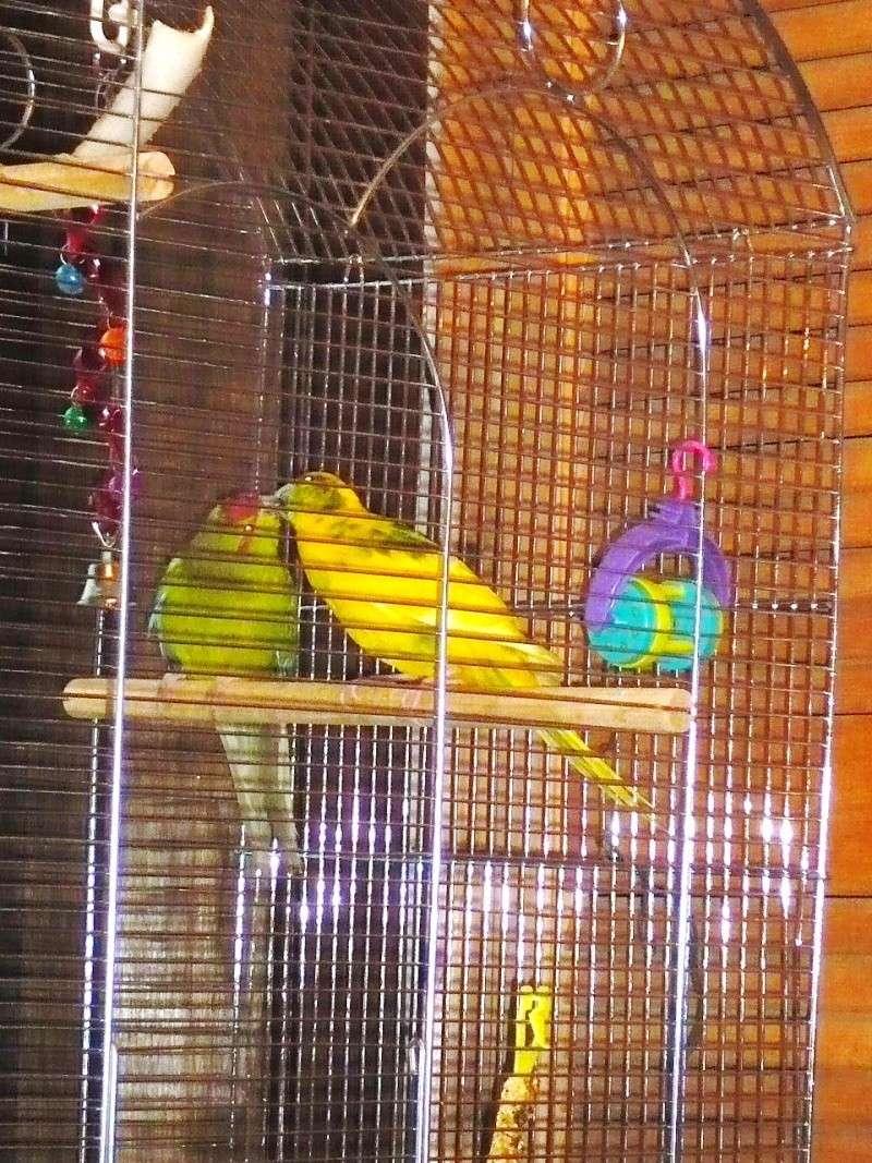 Un Kakariki peut-il rester seul en cage ? P1070913