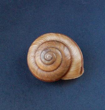 Chilostoma subzonata (Grèce) 0344_c10