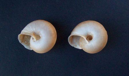 Chilostoma subzonata (Grèce) 0344_c12