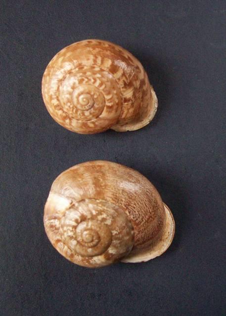 Eobania vermiculata (Müller, 1774) - Page 5 0625_v12