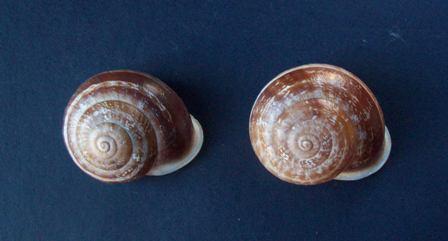 Eobania vermiculata (Müller, 1774) - Page 5 0625_v13