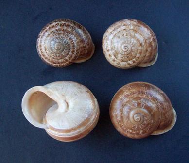 Eobania vermiculata (Müller, 1774) - Page 5 0625_v14