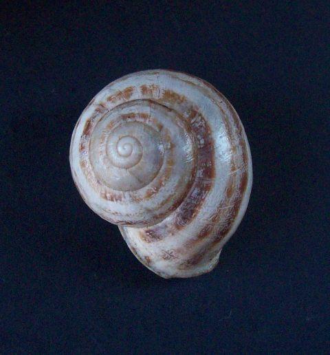 Eobania vermiculata (Müller, 1774) - Page 5 0625_v16